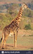 Masai giraffe (Giraffe camelopardalis tippelskirchi)
