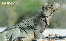 Rhinoceros-iguana-side-profile.jpg