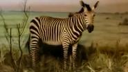 Rolling Hills Zoo Mountain Zebra
