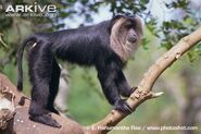 Side-profile-of-lion-tailed-macaque-
