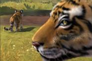 South-china-tiger-ztuac