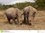 White Rhino Bull and Cow