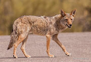Coyote, Mearns'.jpg