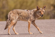 Coyote, Mearns'