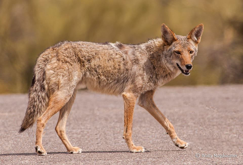 Mearns' Coyote