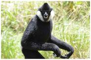 Gibbon, Northern White-Cheeked