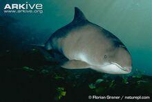 Harbour-porpoise-underwater.jpg
