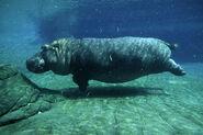 Hippopotamus, Common