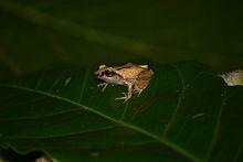 Green Eyed Bushfrog