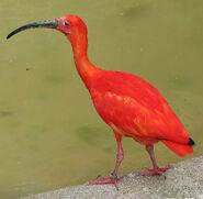 Ibis, Scarlet