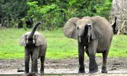 Male and Female Forest Elephants