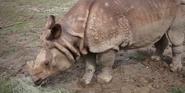 Omaha Zoo Indian Rhino