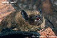 Pipistrelle-bat