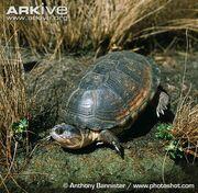 Turtle, East African Black Mud.jpg