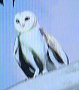 Barn Owl ZTX
