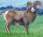 Bighorn sheep switch zoo