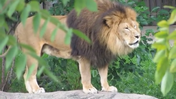 Cleveland Metroparks Zoo Lion