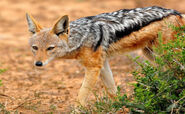 Jackal, Black-Backed