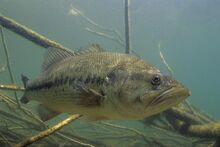 Large mouth bass1.jpg