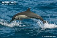 Long-beaked-common-dolphin-jumping