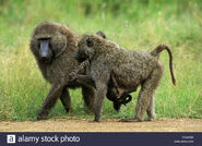 Male and Female Olive Baboons