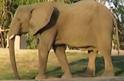 San Diego Zoo Safari Park Elephant2