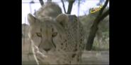Scout's Safari Cheetah