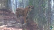 Baton Rouge Zoo Malayan Tiger
