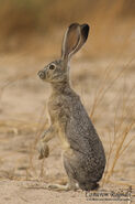 Black-tailed-Jack-Rabbit
