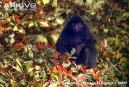 Black colobus