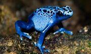Blue-Poison-Dart-Frog.jpg
