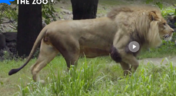 Bronyx Zoo TV Series Lion