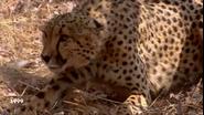 CITIRWN Cheetah