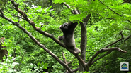 Cincinnati Zoo Muller's Gibbon