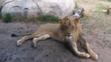 El Paso Zoo Lion