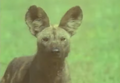 Henry's Amazing Animals Wild Dog