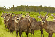 Herd of waterbucks