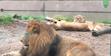 Houston Zoo Lions