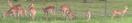 Lion Country Safari Impalas