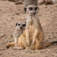 Male and female meerkats