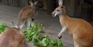 Nashville Zoo Kangaroo