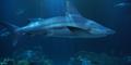 Shedd Aquarium Shark