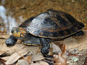 Turtle, Yellow-Spotted Amazon River.jpg