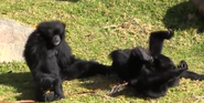 Canberra Zoo Siamangs