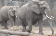 Columbus Zoo African Elephants
