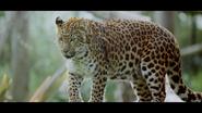 Howlett's Wild Animal Park Leopard