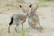 Male and Female Jackrabbits