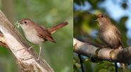 Male and Female Nightingales