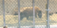 Milwaukee County Zoo Hogs