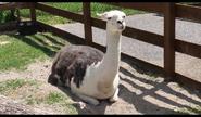 Niabi Zoo Llama